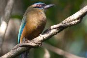 Birding Achiote Road: The Atlantic Side of Panama-449