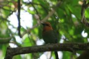 Panama Canal Watershed Birding Tour Featuring Pipeline Road -734